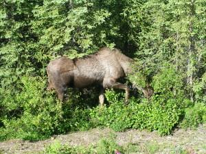 A Moose at Denali National Park