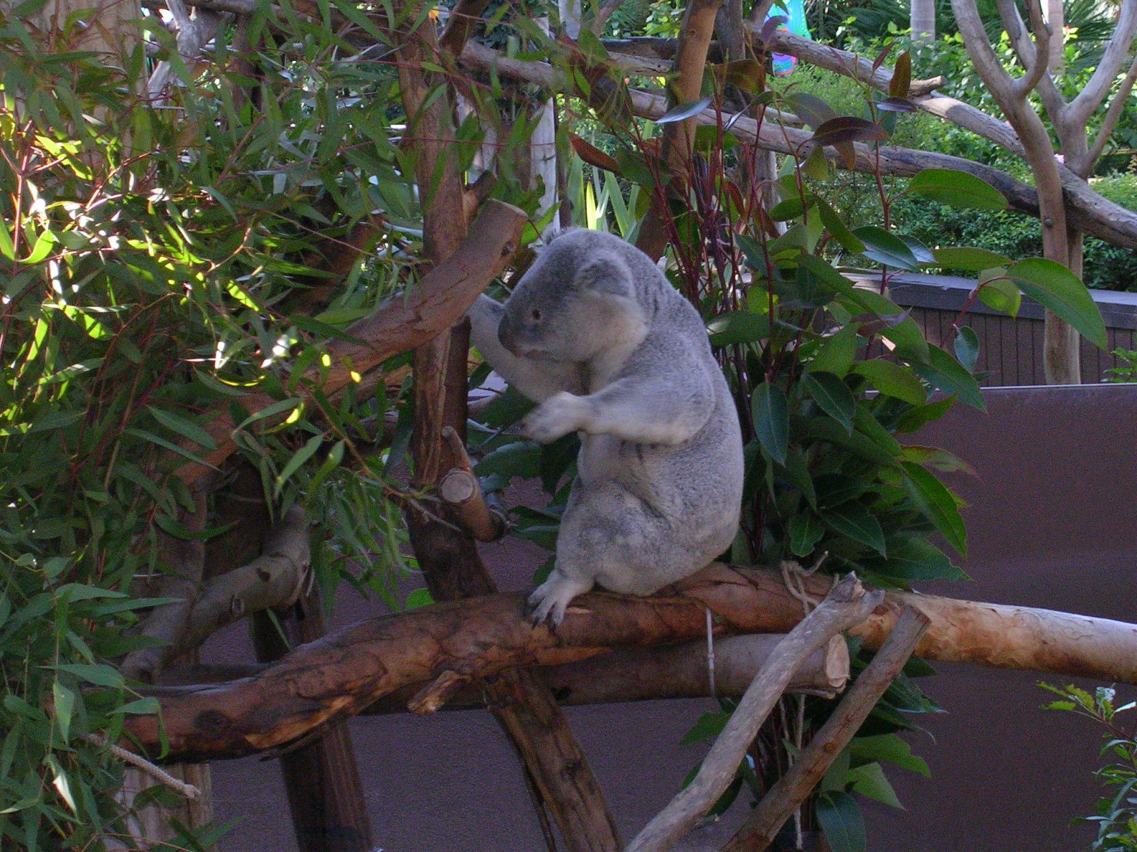 Koala Bear at San Diego Zoo