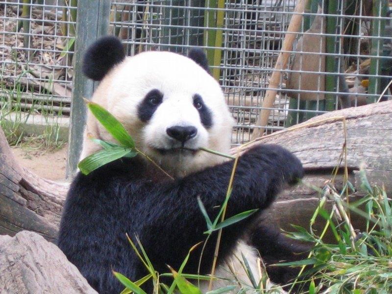 Panda, San Diego Zoo