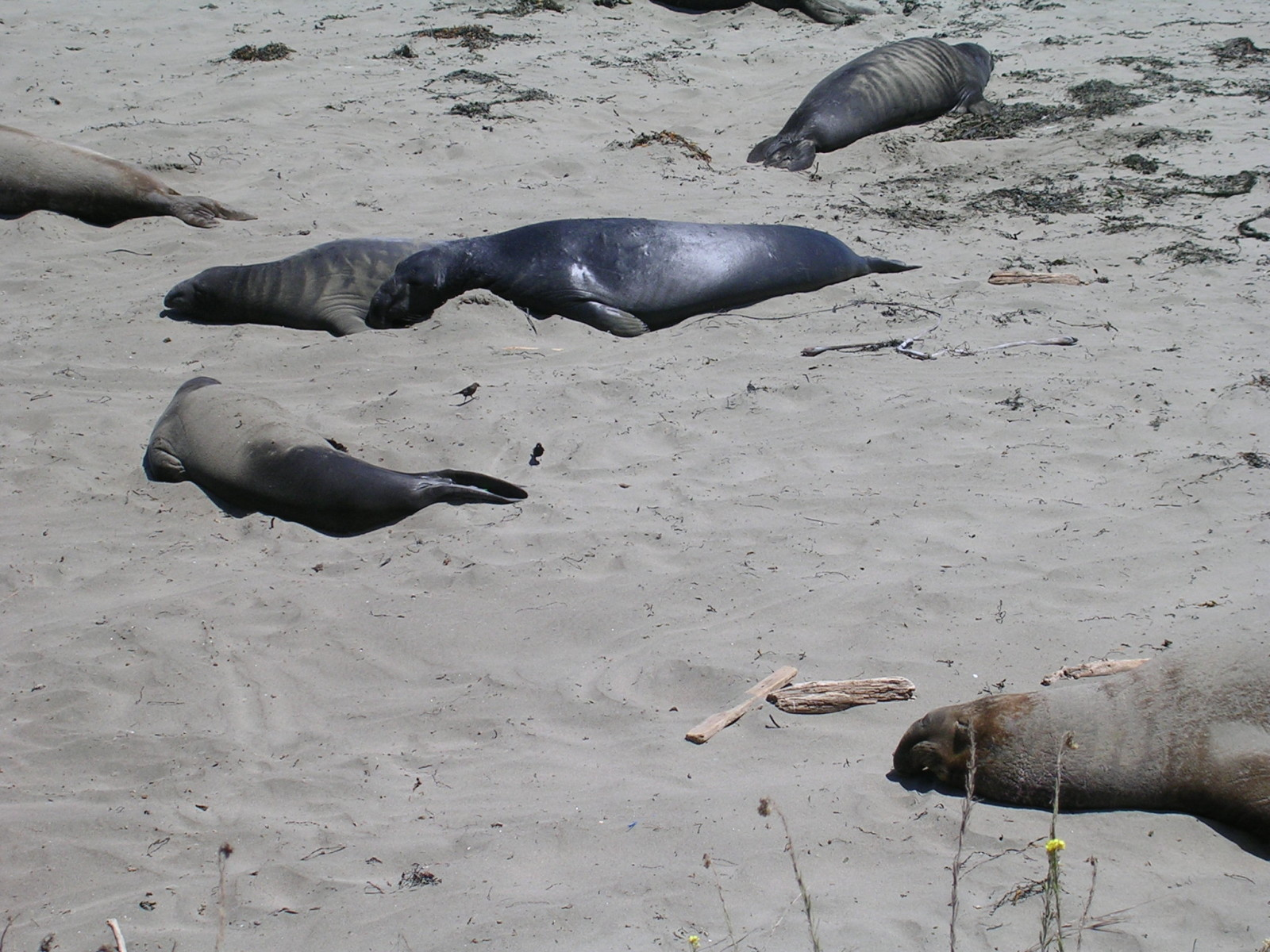 Elephant Seals along Highway 1